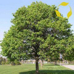 Acer platanoides anti smog